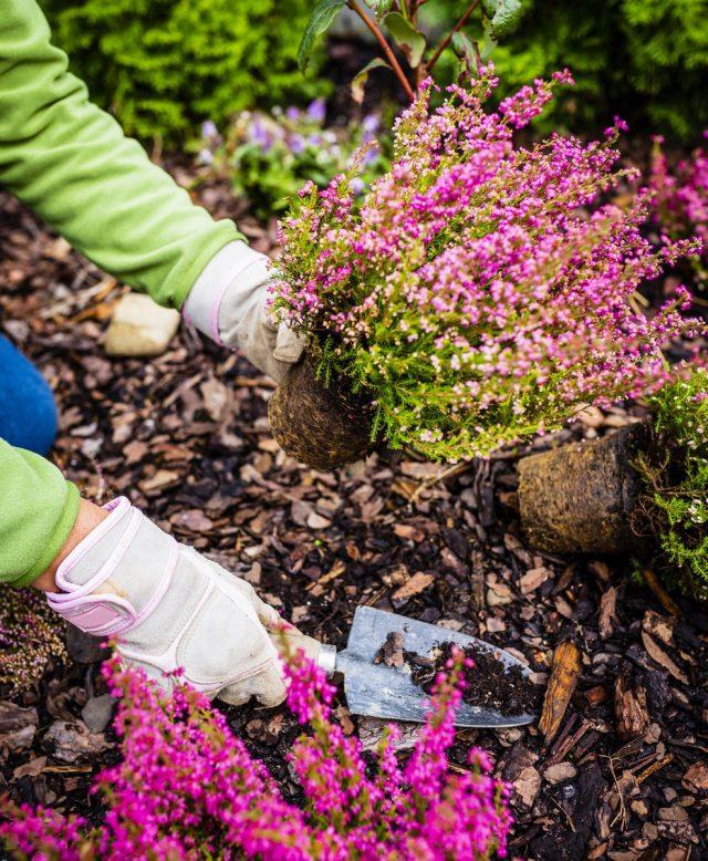 Основное требование для выращивания вереска обыкновенного — кислые почвы