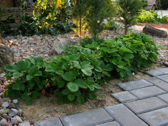 Декоративное выращивание земляники не подарит много ягод, но в этом случае ягоды - не главное