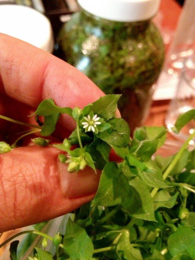 Вкуснее всего самые молодые части растения звездчатки