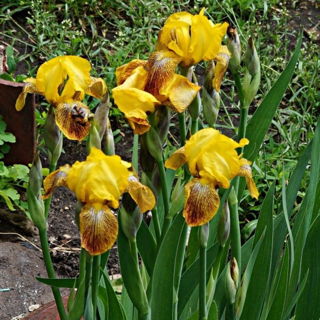 Один из старейших сортов ириса (Iris)