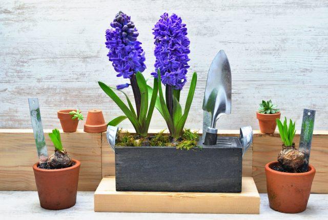 5 секретов выращивания гиацинтов в комнате