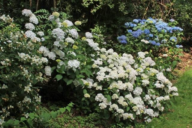 Hydrangea-macrophylla-Madame-Emile-Mouillere-3