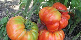 Какие выбрать сорта томатов — советы селекционера © Денис Терентьев и Алексей Кулик