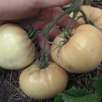 Сорт томата «Бычье сердце белое» © Денис Терентьев и Алексей Кулик