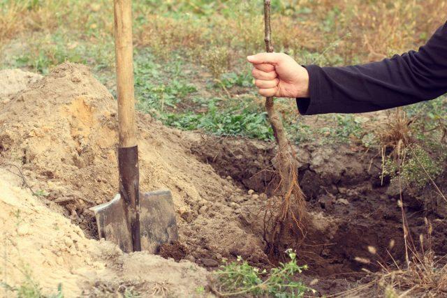 Прикапывание— основной и самый простой способ сохранения всех плодовых деревьев и ягодных кустарников