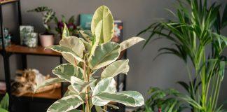 Как избежать ошибок при покупке дорогостоящих комнатных растений?