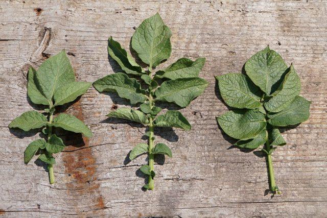 Слева направо сорта «Утро Раннее», «Каменская», обычный картофель