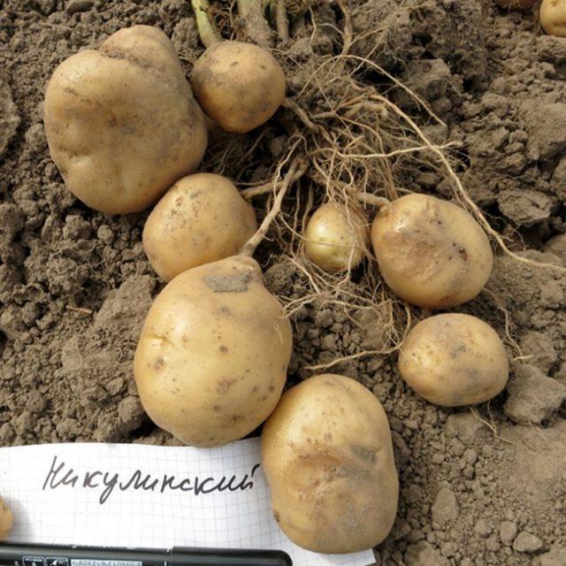 Колорадский жук не очень любит некоторые сорта картофеля, в том числе «Никулинский»