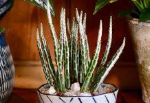 Крестовник стапелиевидный — экзотика среди суккулентов