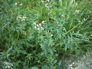 Эрука посевная, или индау посевной (Eruca vesicaria)