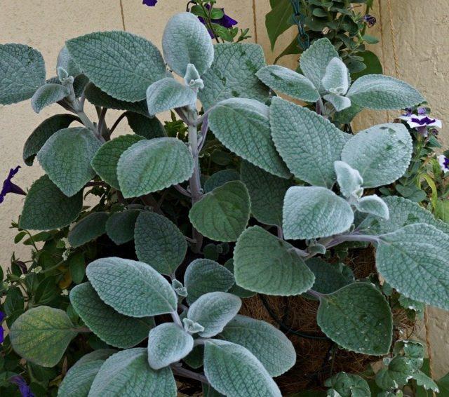 Плектрантус серебристый (Plectranthus argentatus)