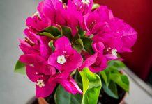 Почему бугенвиллеи не цветут?