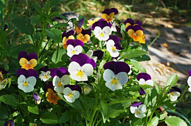 Виола корнута, или Рогатая фиалка (Viola cornuta)