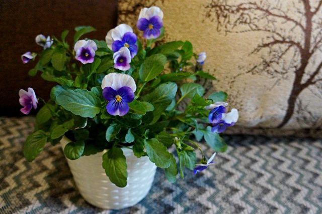 Виола Вильямса (Viola x williamsii)