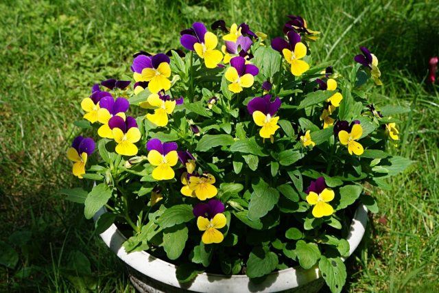 Виола триколор, или Виола трехцветная (Viola tricolor), также известна как «Джонни-джамп» (Johnny Jump Ups)