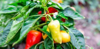 Сладкие перцы сербской селекции — 6 самых вкусных сортов