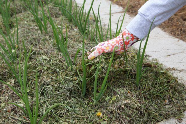 Для мульчирования огорода можно использовать любые органические материалы