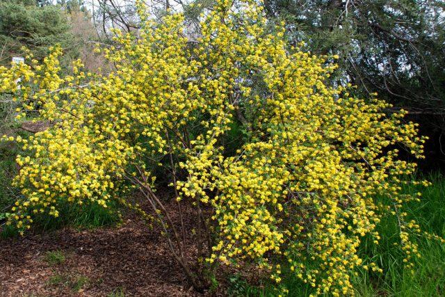 Золотистая смородина (Ribes aureum)
