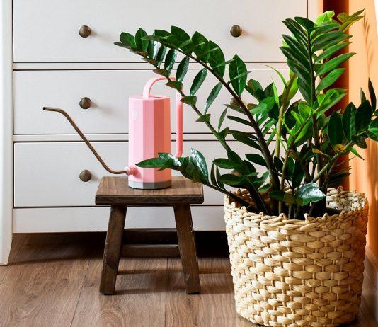 10 правил выращивания замиокулькаса в домашних условиях