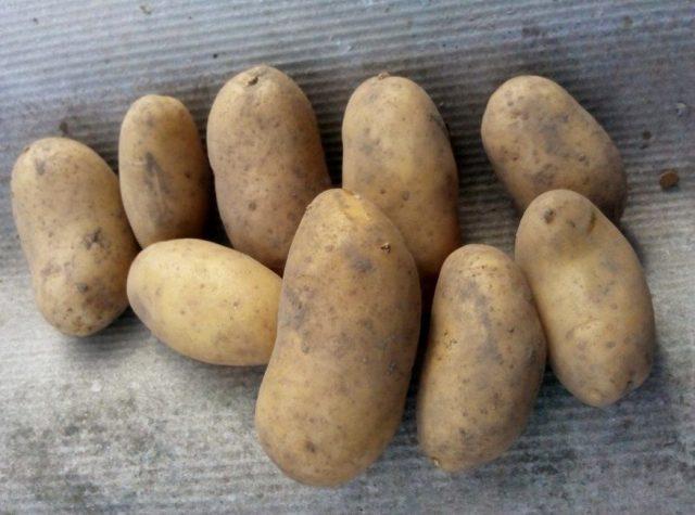 Картофель «Гранада» или «Гренада» (Granada, Grenada)
