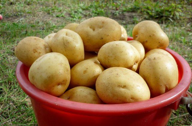 Картофель «Гала» (Gala)