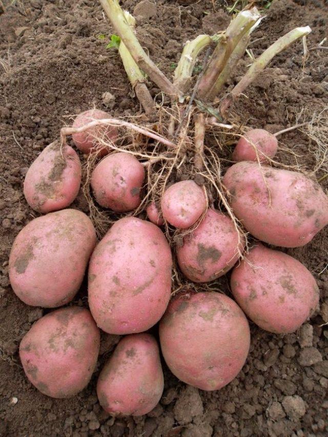 Картофель «Беллароза» (Бела Роса, Белла Роса, Bellarosa)