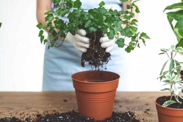 Процесс пересадки комнатного растения