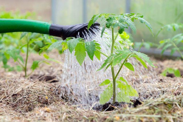 Пролив томатов, окруженных мульчой, растворами био-удобрений