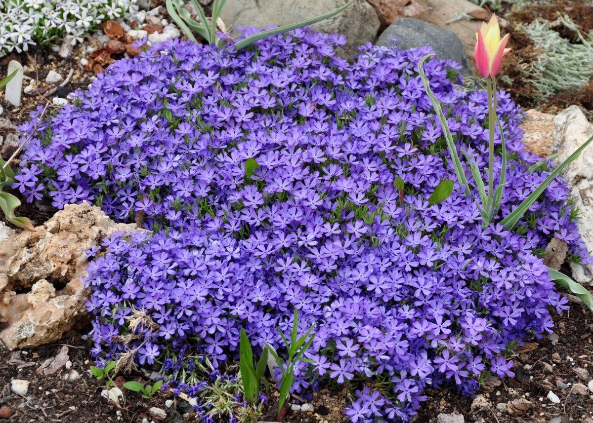 Phlox-Violet-Pinwheels-1
