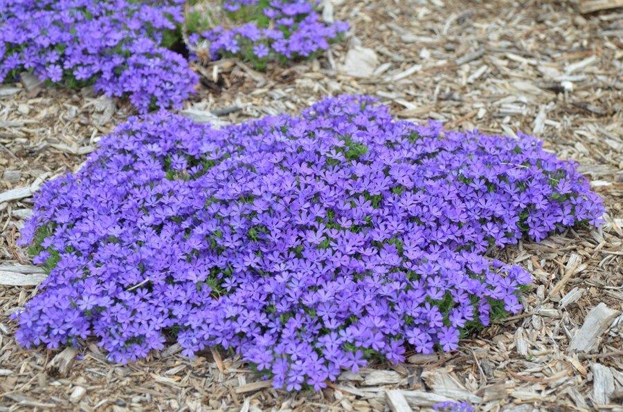 Phlox-Violet-Pinwheels-3