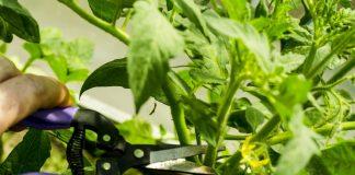 Рассада томатов из черенков (вегетативный способ получения рассады)
