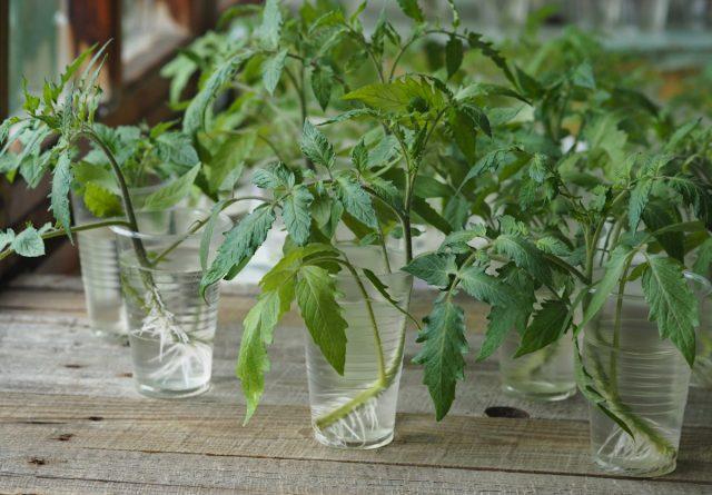 Черенки томатов пустили корни в воде