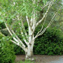 Берёза полезная (Betula Utilis)