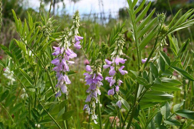 Галега лекарственная, или Козлятник лекарственный (Galega officinalis)