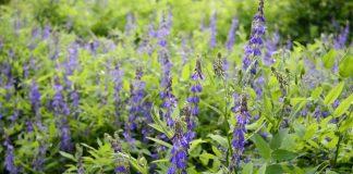 Галега, или Козлятник — сидерат, медонос и лекарственное растение