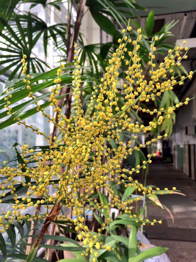 Только с прохладной зимовкой можно добиться цветения хамедореи