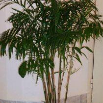 Хамедорея высокая (Chamaedorea elatior)