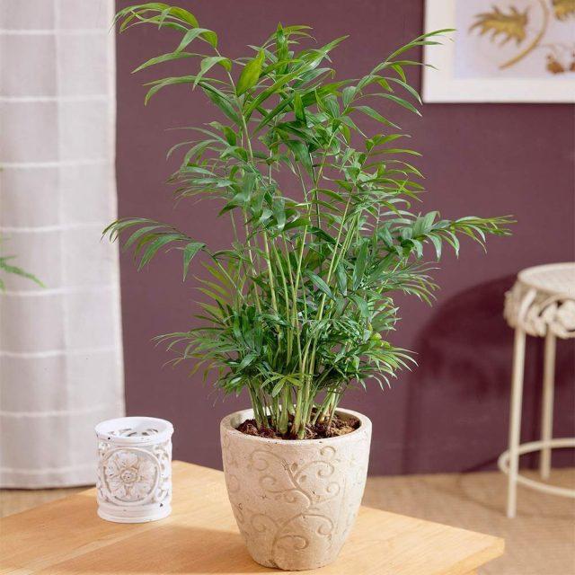 Хамедорея— лучшая пальма для размещения внутри комнат