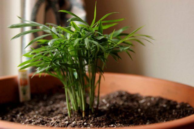Хамедорея отлично размножается вегетативно