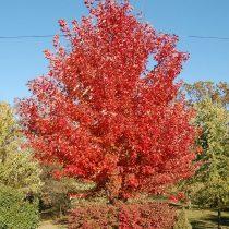 Клен «Отом Блейз» (Autumn Blaze)
