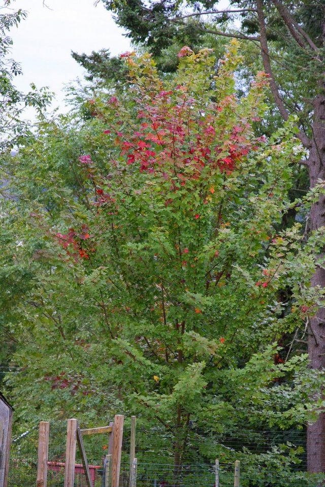 Осенью зелёная листва красного клена приобретает яркие оттенки