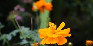 Космея серно-желтая — яркий летник для ленивых