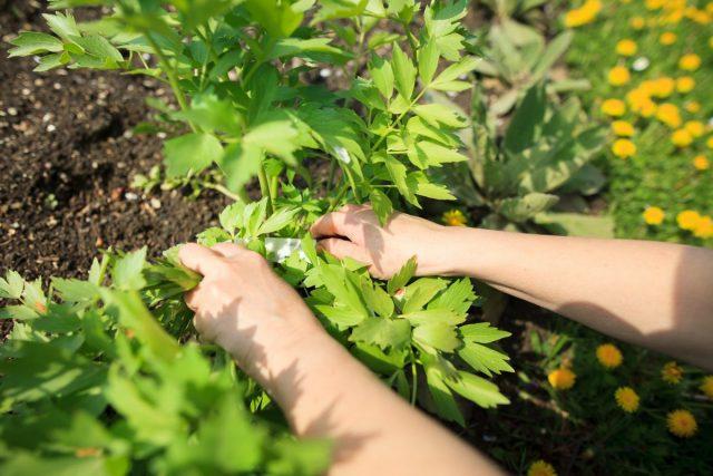 Срезка — лучший способ обновить потерявшие свежесть кусты любистка летом