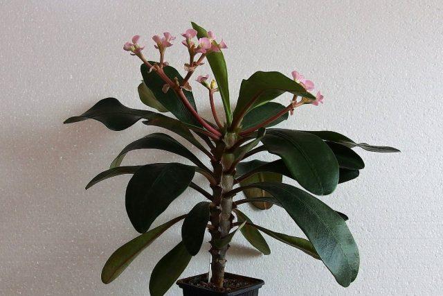 Молочай гребенчатый (Euphorbia lophogona)