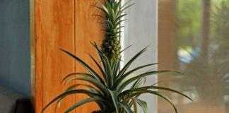 Почему болеет комнатный ананас?