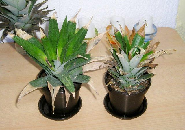 При признаках того, что ананас заболел, стоит в первую очередь заподозрить вред от щитовок