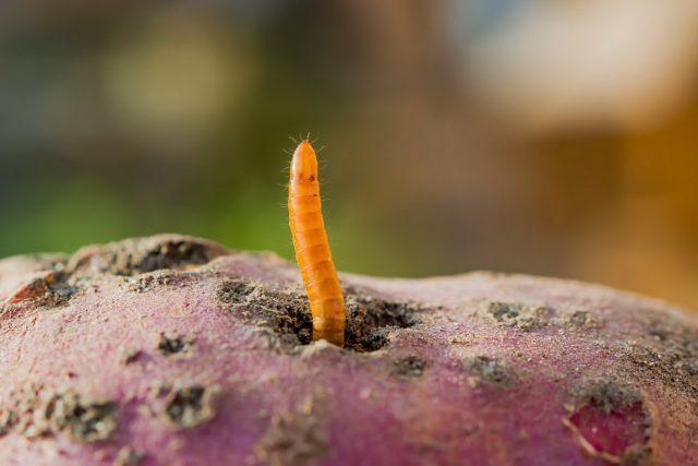 Проволочники — неприятные детки жуков-щелкунов
