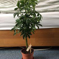 Шеффлера древесная (Schefflera arboricola)
