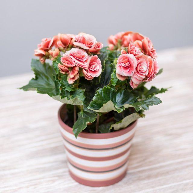 Бегония группы Элатиор (Begonia elatior)
