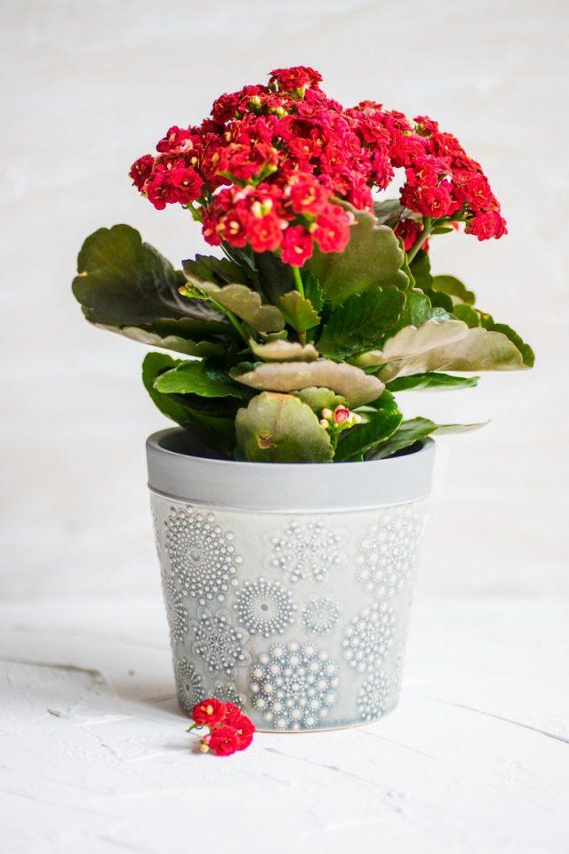 Каланхоэ Блоссфельда (Kalanchoe blossfeldiana)